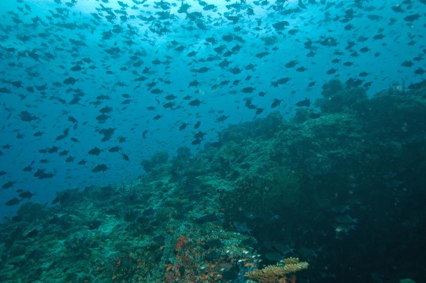 Velidhu (Nord Ari Atoll), Velidhu,Malediven,Rotzahndrückerfische,Odonus niger