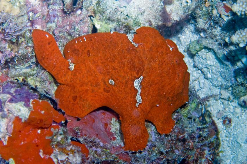 Lhaviyani Atoll Komandoo, Lhaviyani Atoll Komandoo,Malediven,Frogfish,Anglerfisch