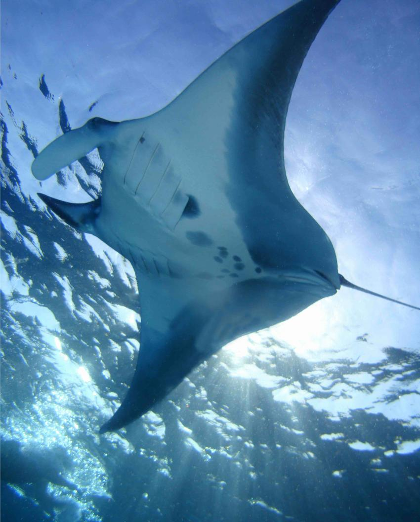 MANTA , Red Sea Waterworld, Sharm el Sheikh, Ägypten, Sinai-Süd bis Nabq