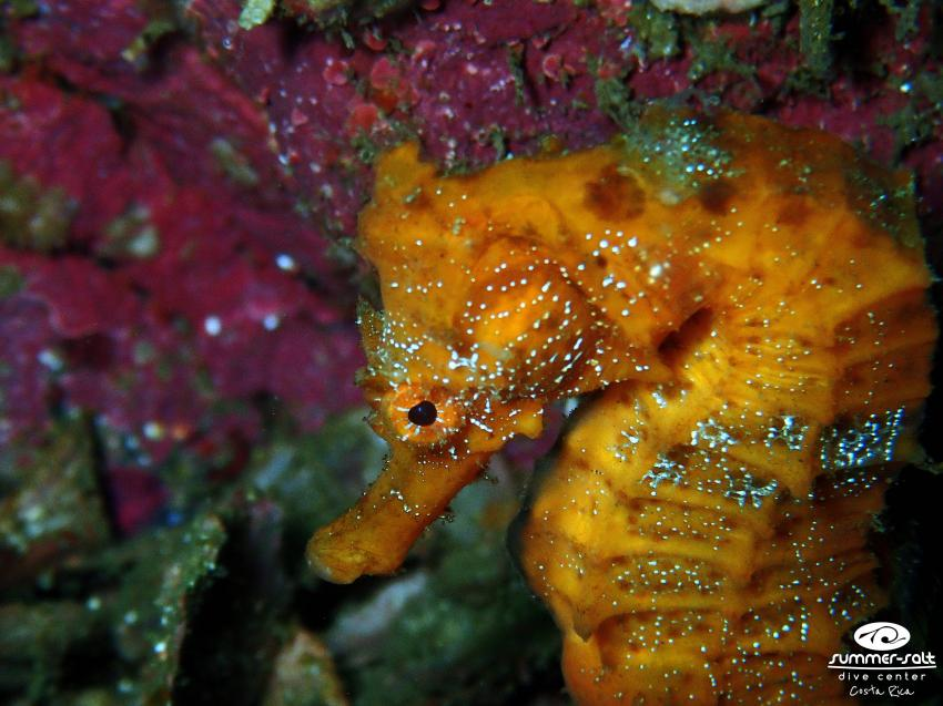 Hippocampus, Seepferdchen, Seahorse, Summer-Salt Dive Center, Playas del Coco, Costa Rica