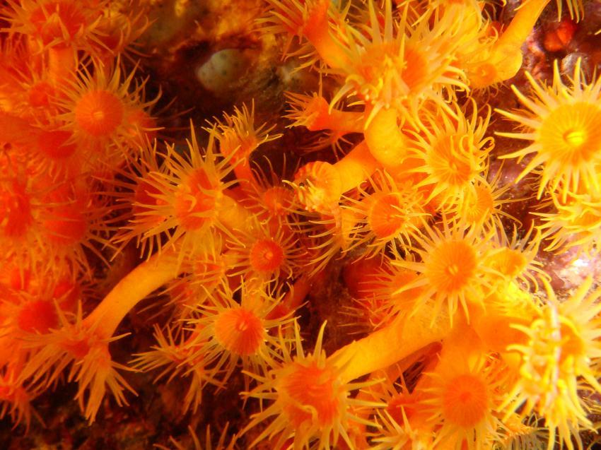 Cala Joncols, Cala Joncols,Spanien,Koralle,Anemone,orange,Makro