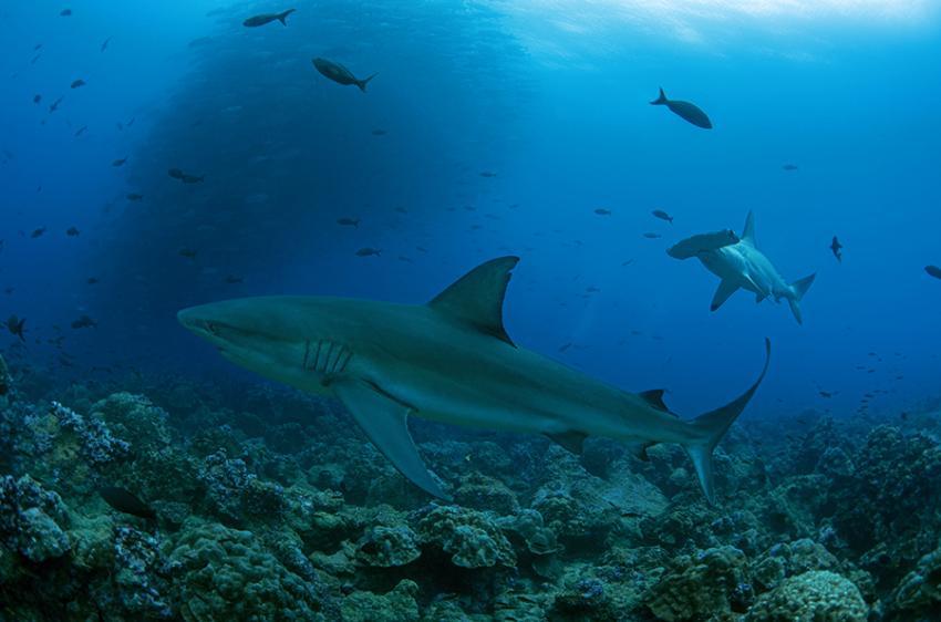 Galapagoshai und Hammerhai zusammen mit einen großen Schwarm kleinerer Fische im Hintergrund