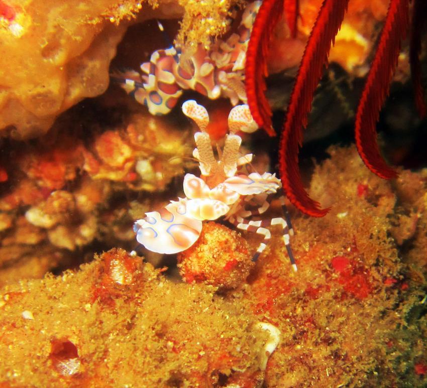 harlequin shrimp, hymenocera picta, Tofoscuba, Tofo, Mosambik