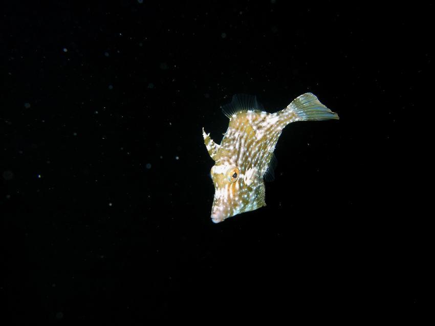 Feilenfisch bei Nacht
