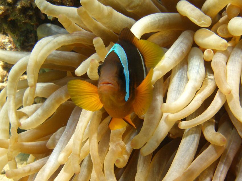 Makadi Bay, Makadi Bay,Ägypten,Clownfisch,Anemone