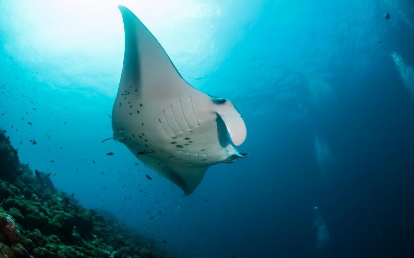 2012, MY Amba,Malediven,Manta