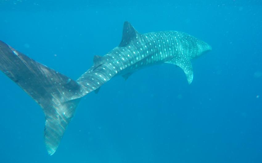 Walhai beim Tauchen gesehen, Walhai, Whaleshark, Blue Ocean Diving Center PADI, SSI, CMAS und IAC, Ägypten, Marsa Alam und südlich