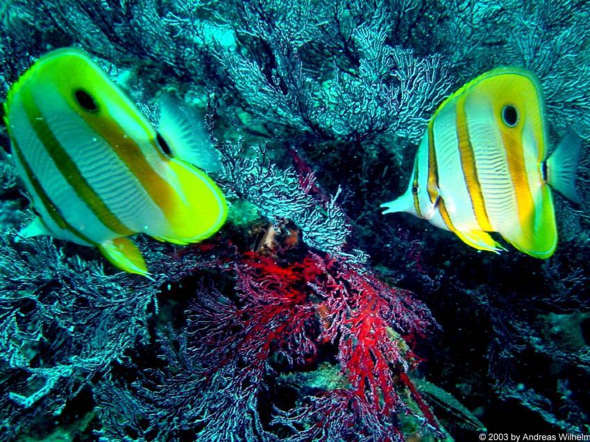 Phuket - Anemone Reef, Phuket,Thailand
