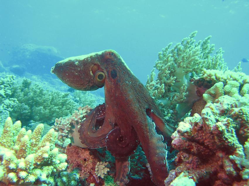Layang Layang, Layang Layang,Malaysia,Kraken,Oktopus