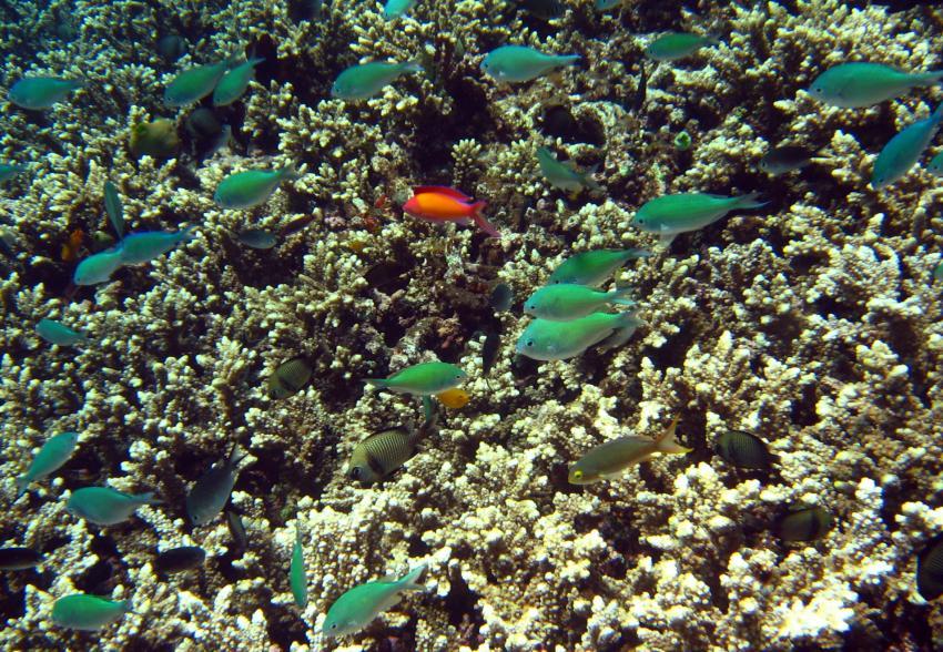 Kubu Coral Garden, Bali Nordküste,Indonesien