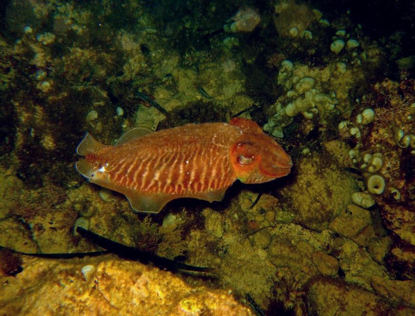Menorca, Son Bou, Menorca,Son Bou,Spanien,Tintenfisch,Sepia