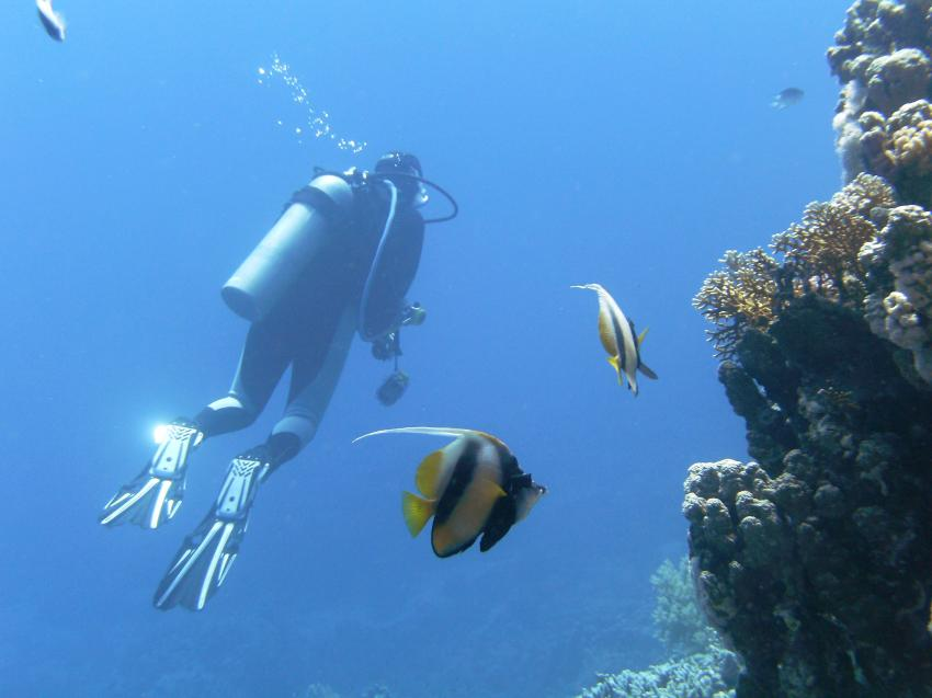 Wimpelfische mit Taucher