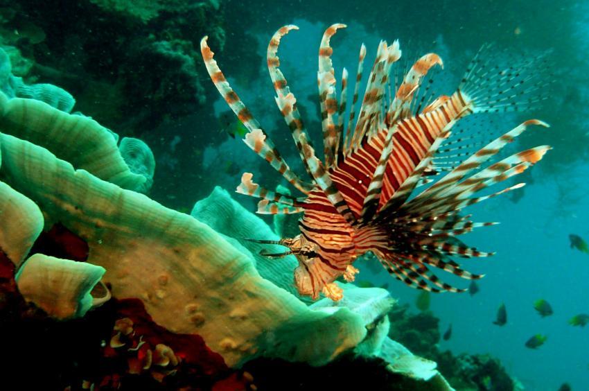 Rotfeuerfisch am Wrack