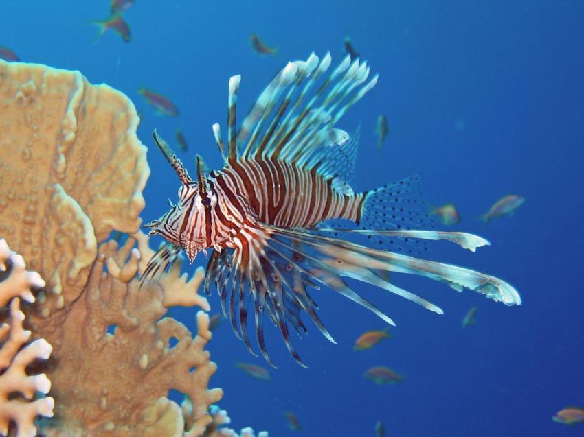 El Quseir - Mangrove Bay, Mangrove Bay  Hausriff,Mangrove Bay,El Quseir,Ägypten,Rotfeuerfisch