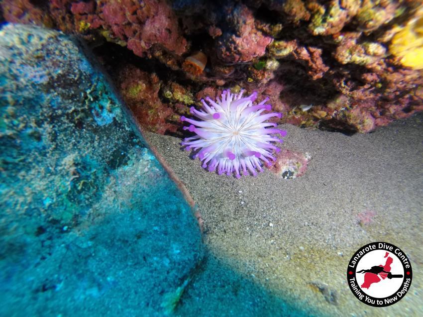 Lanzarote Dive Centre, Playa Chica, fisch, Lanzarote Dive Centre, Puerto del Carmen, Spanien, Kanaren (Kanarische Inseln)
