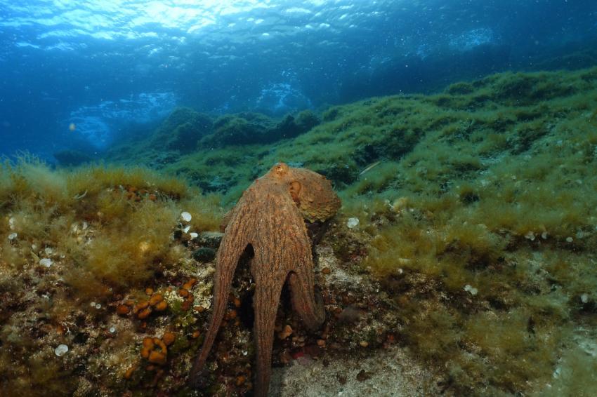 Octopus, Mittelmeer, Adria, Najada diving, Murter, Kroatien