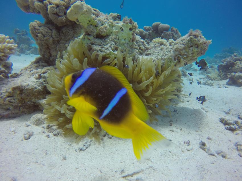 Anemonenfisch, Wonderful Dive, Akassia LTI & Calimera, Ägypten, El Quseir bis Port Ghalib