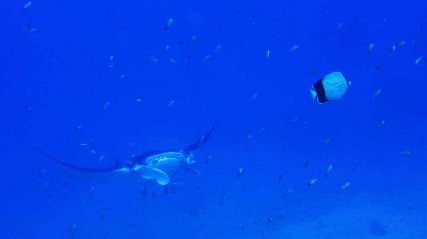 manta ray, cephalopterus manta, Tofoscuba, Tofo, Mosambik