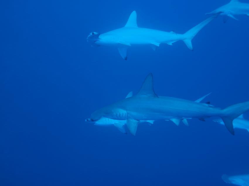 Die Hammerhaie , ohne Ende, M/Y Blue, Ägypten