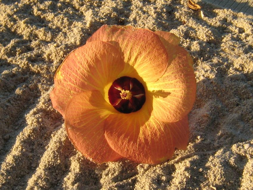 Kuredu - Lhaviyani Atoll, Kuredu,Malediven,Blüte,Blume,Strand