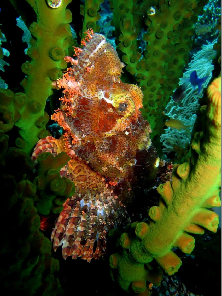 Frogfish, Froggy, Anglerfisch, Pintuyan Dive Resort, Pintuyan, Southern Leyte, Philippinen