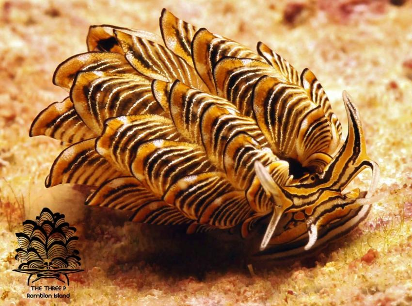 Cyerce nigra (Tiger Butterfly Seaslug), The Three P Romblon Island