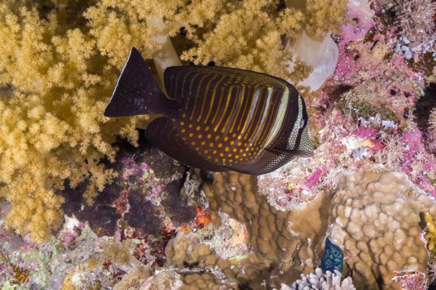 Safari Brother - Daedalus - Elphinstone March 2014, Brother Islands / Deadalus Reef,Ägypten