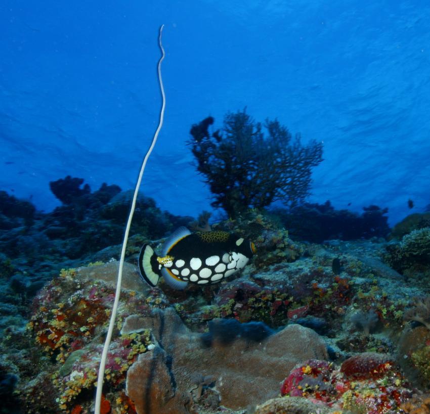 Palau Aggressor 2, Palau und Yap allgemein,Palau,Leoparden Drückerfisch
