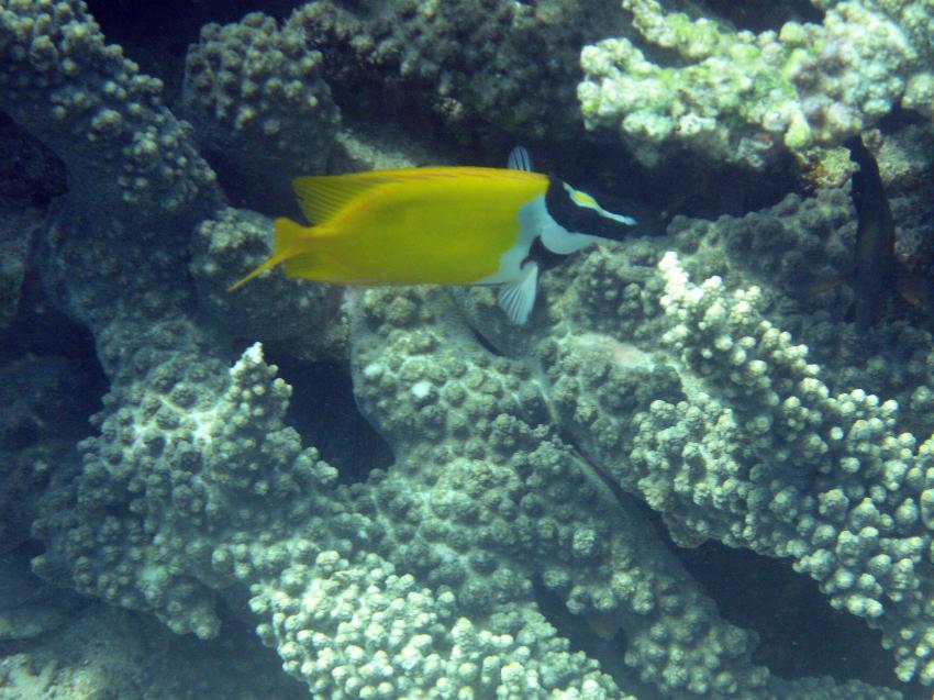 Pulau(= Insel) Sahaung (Bangka Archipel), Pulau Sahaung,Indonesien,Fuchsgesicht (Siganus vulpinus)