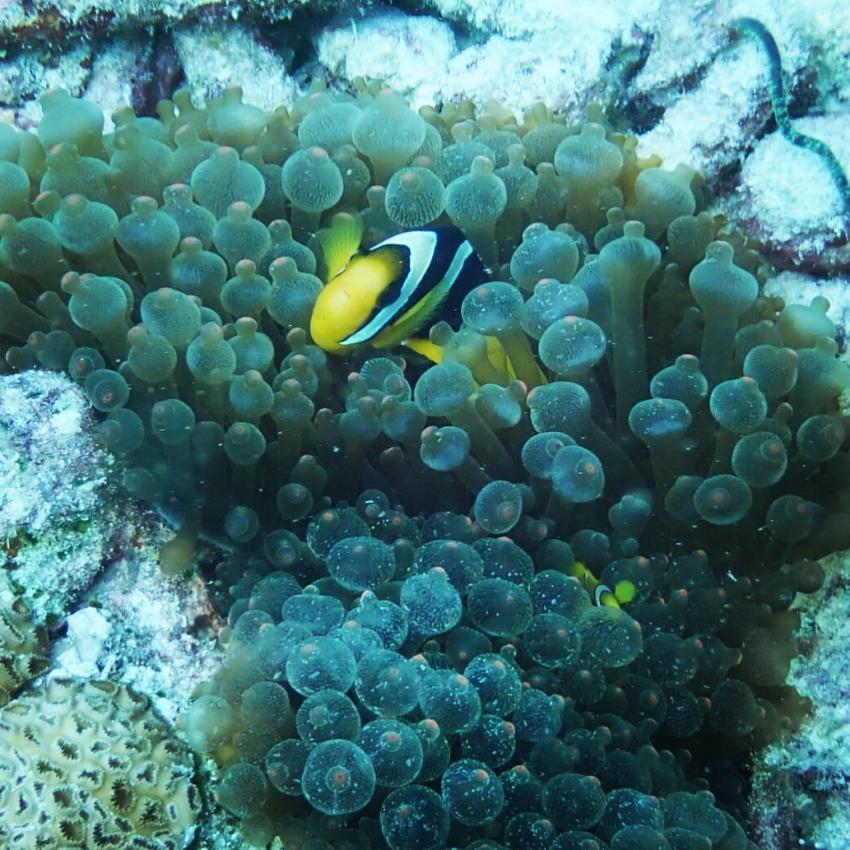 Clownfish, Dive Rasdhoo, Malediven