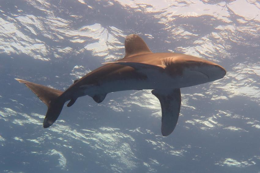 Longimanus, Hany Dolphin Blue, Ägypten, Safaga