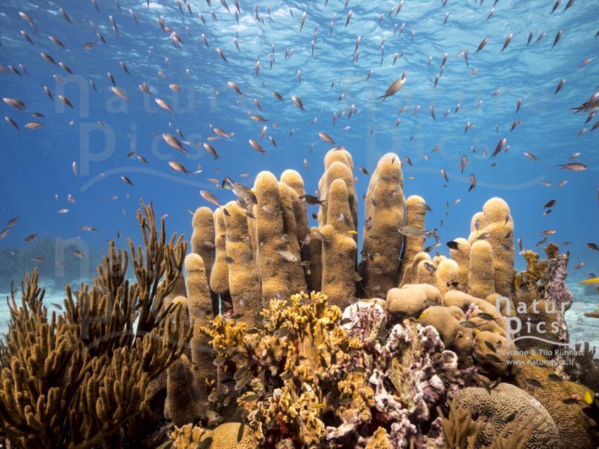 Säulenkoralle - Playa Hundu, Poppy Hostel Curacao, Willemstad, Niederländische Antillen, Curaçao