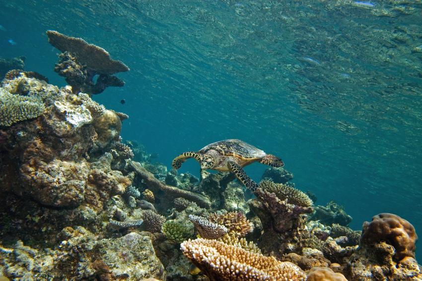 Lhaviyani Atoll Komandoo, Lhaviyani Atoll Komandoo,Malediven,Turtle,Schildkröte