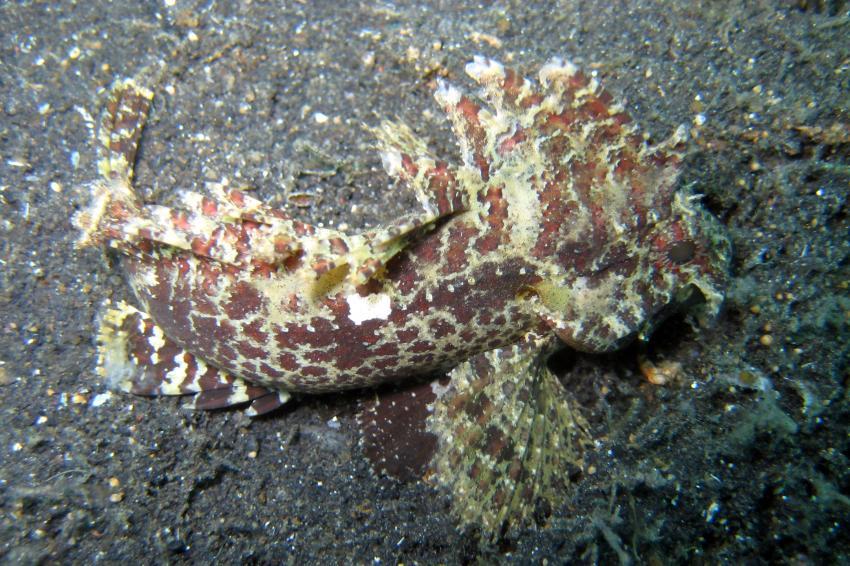 Lembeh, Lembeh,Indonesien,Skorpionsfisch,Samtfisch,Teufelsfisch,Drachenkopf