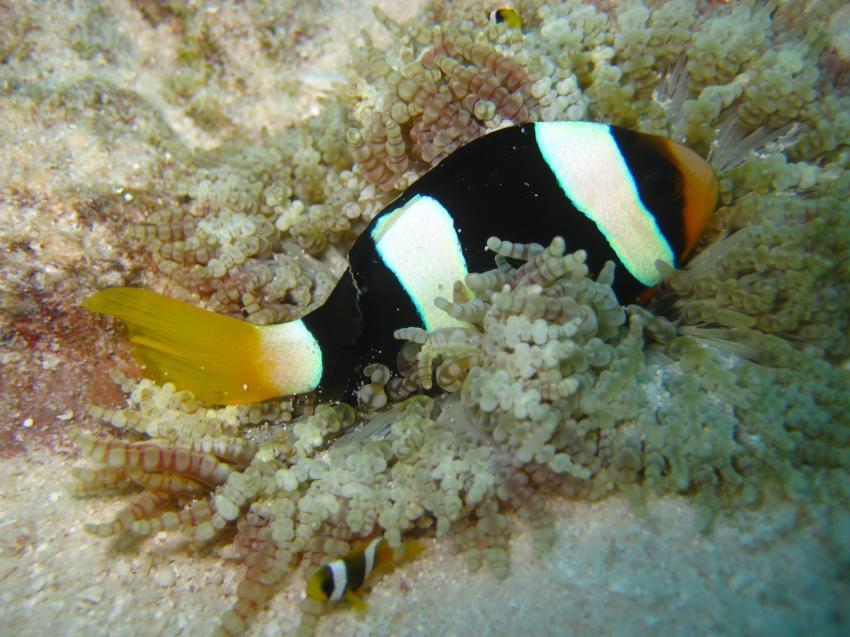 Clownfisch - etwas zu groß für die Anemone