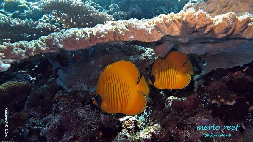 Merlo Reef, Sudan Riffkarte Seawolf Diving Safari Dominator Merlo Reef, Merlo Reef Nordplateau, Sudan