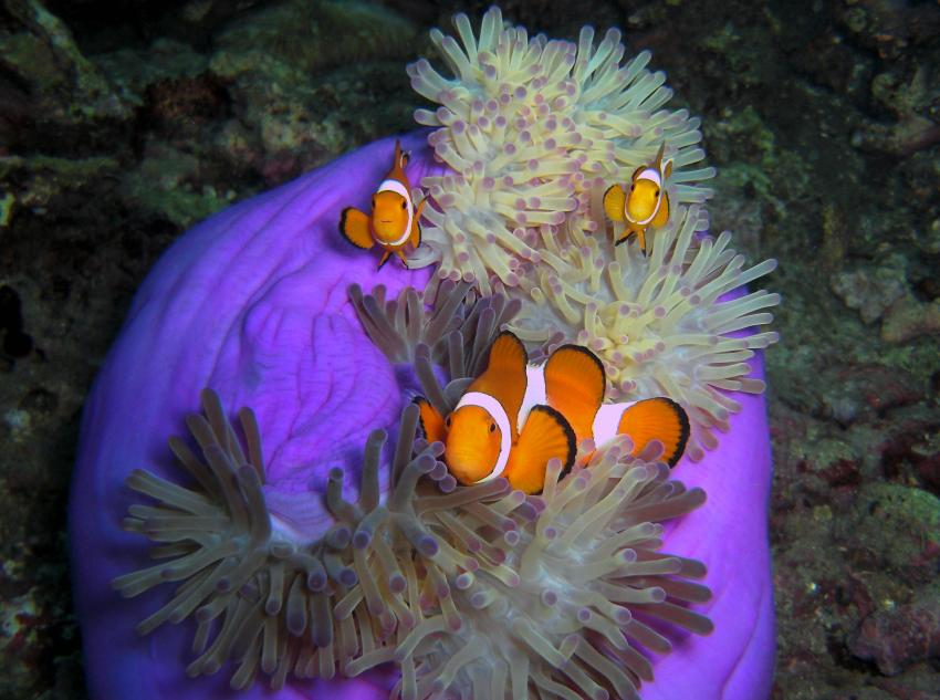 dive society, unterwasseraufnahmen, negros dauin,Philippinen,,Nemo,Clownfische,Anemone,violett