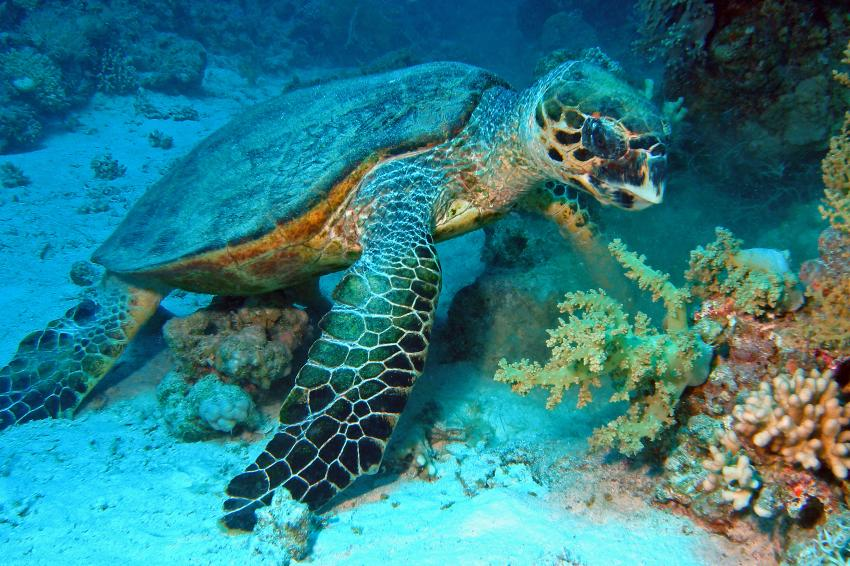 Erg Sabina, Erg Sabina,Ägypten,schildkröte,turtle