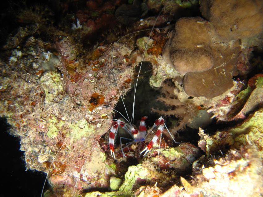 Nacht-Tauchgang am Hausriff der Freedom Divers Safaga, Hausriff Freedom-Divers,Ägypten