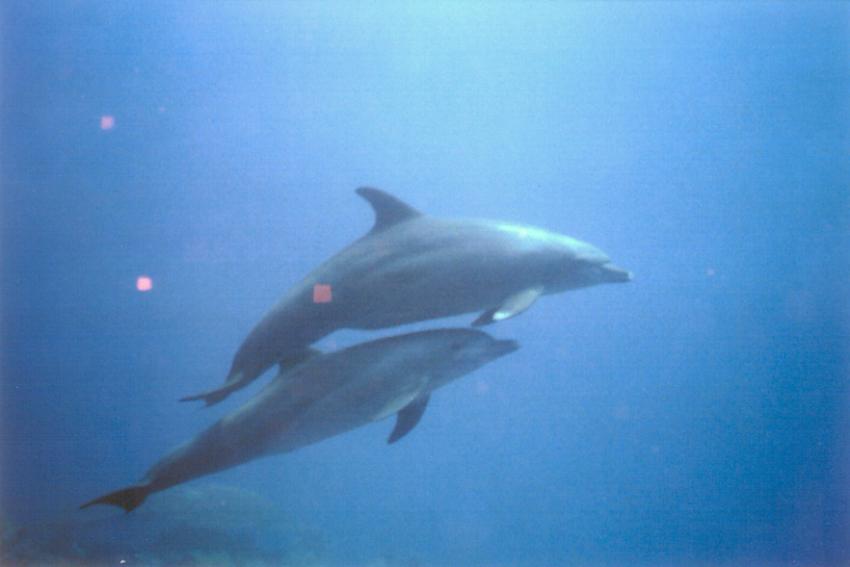 Ras Mohammed - Tauchen mit Delphinen, Ras Mohammed,Ägypten