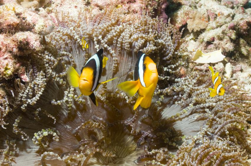 SY Siren Tauchsafari südliche Atolle, Tauchsafari südliche Atolle,Malediven,Anemonenfische,Koralle,weich,Nemo