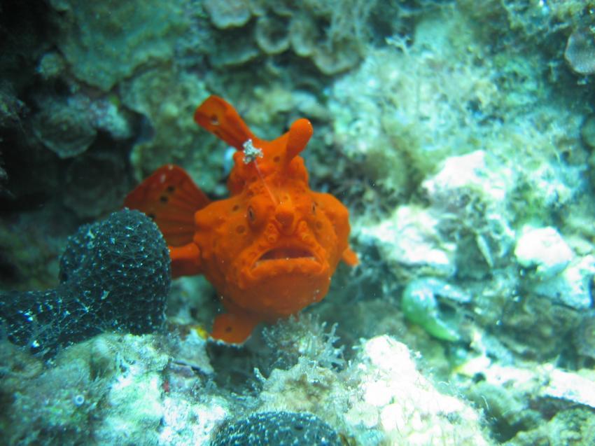 Mactan, Mactan Island,Samal Island,Philippinen,Anglerfisch,Schaukelfisch