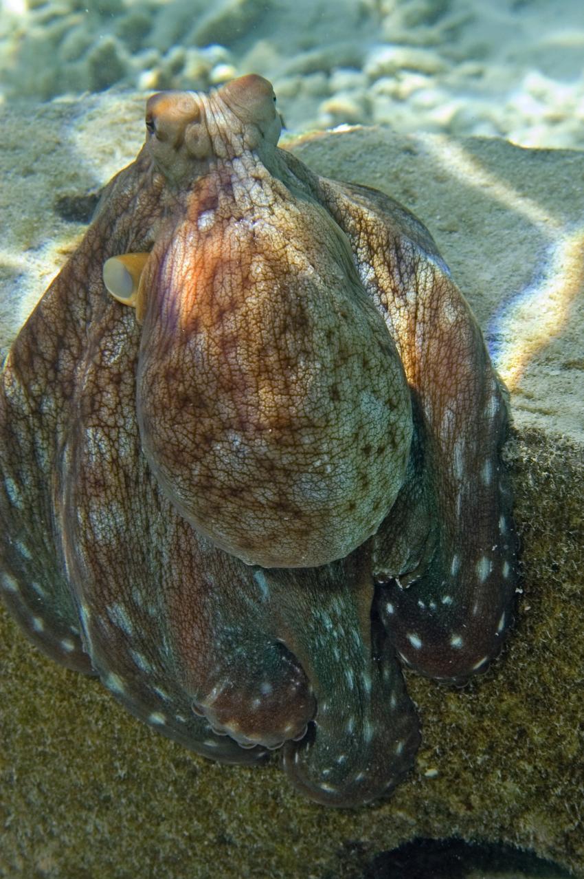 Lhaviyani Atoll Komandoo, Lhaviyani Atoll Komandoo,Malediven,Krake,Tintenfisch