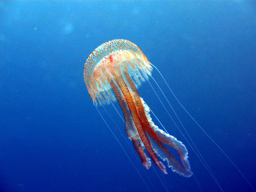 nesselnde Schönheit, Qualle, Madeira, Azul Diving Madeira, Portugal
