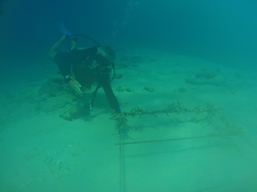Korallenaufzucht bei Wannadive, Wannadive, Kralendijk, Bonaire, Niederländische Antillen, Bonaire