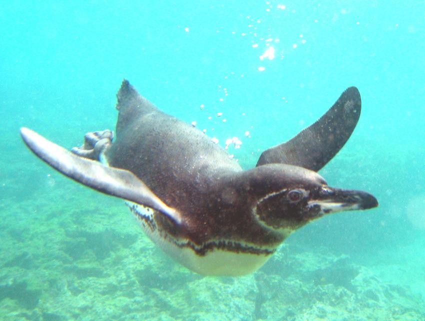 Galapagos, Galapagos Allgemein,Galapagos,Ecuador,Pinguin