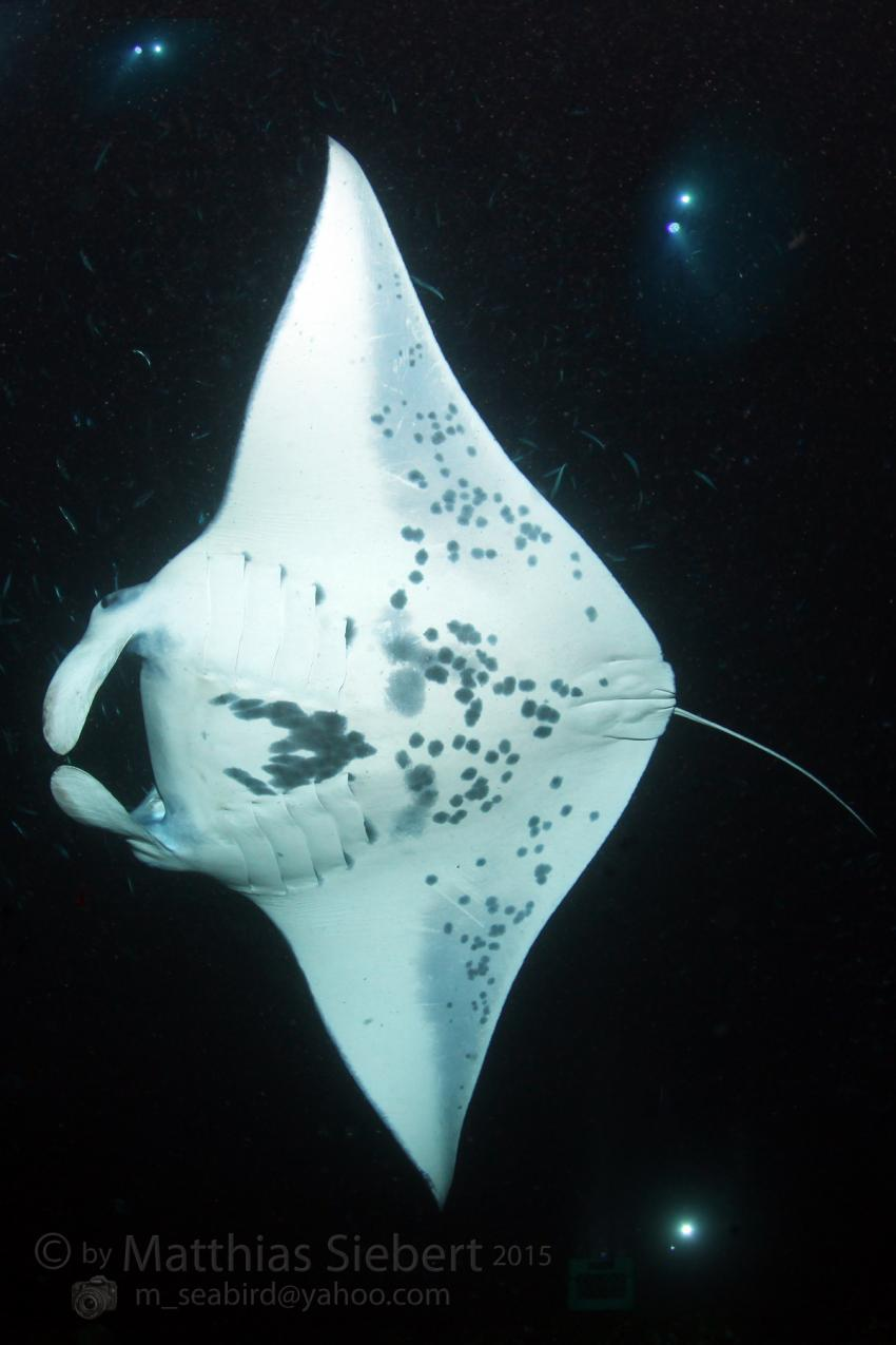 Manta Rays of Kona, Kona,Big Island,Hawaii,USA