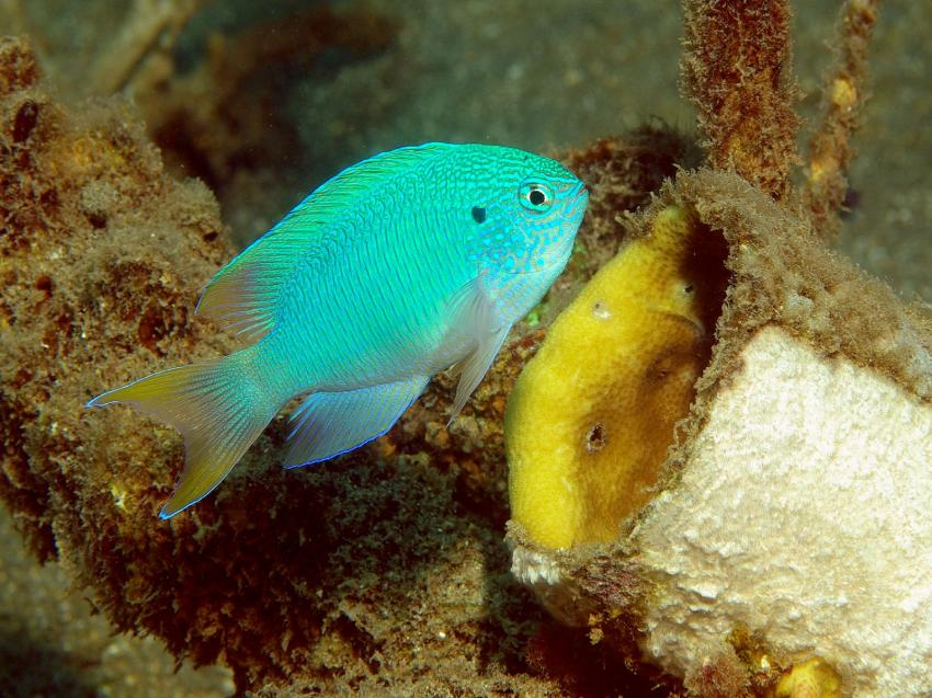 Pemuteran und Insel Menjangan, Menjangan,Indonesien,Riffbarsch,Korallenzuchtprojekt