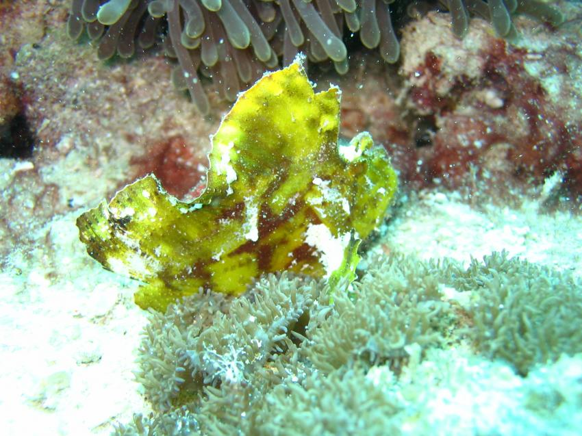 Maaya Thila, Maaya Thila,Malediven,schaukelfisch,gelb,tarnung