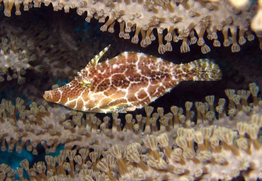 rund um West Punt, West Punt,Curaçao,Niederländische Antillen,Schlanker Feilenfisch